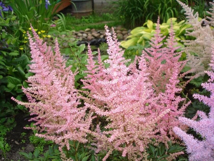 Прекрасный сад и осенью – китайская астильба поможет с этим!
