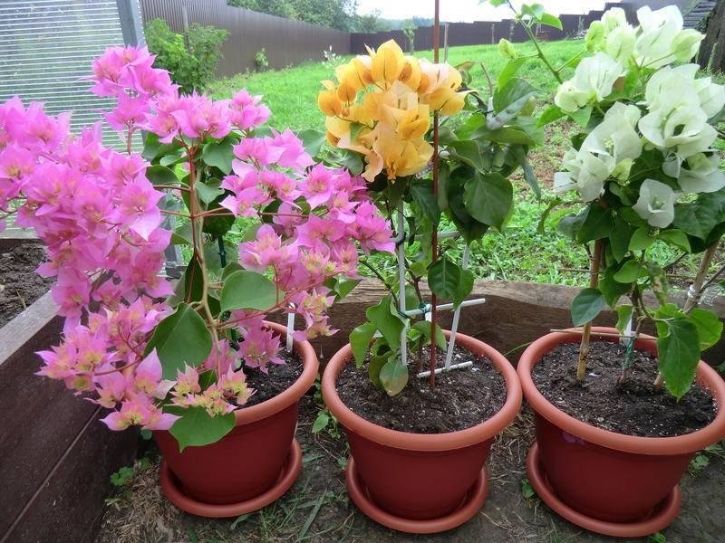 Бугенвиллия: выращивание и уход в домашних условиях