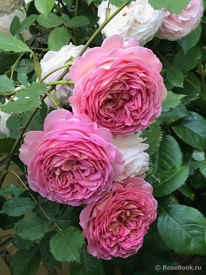 Плетистый английский сорт голден селебрейшен: как выращивать розу остина