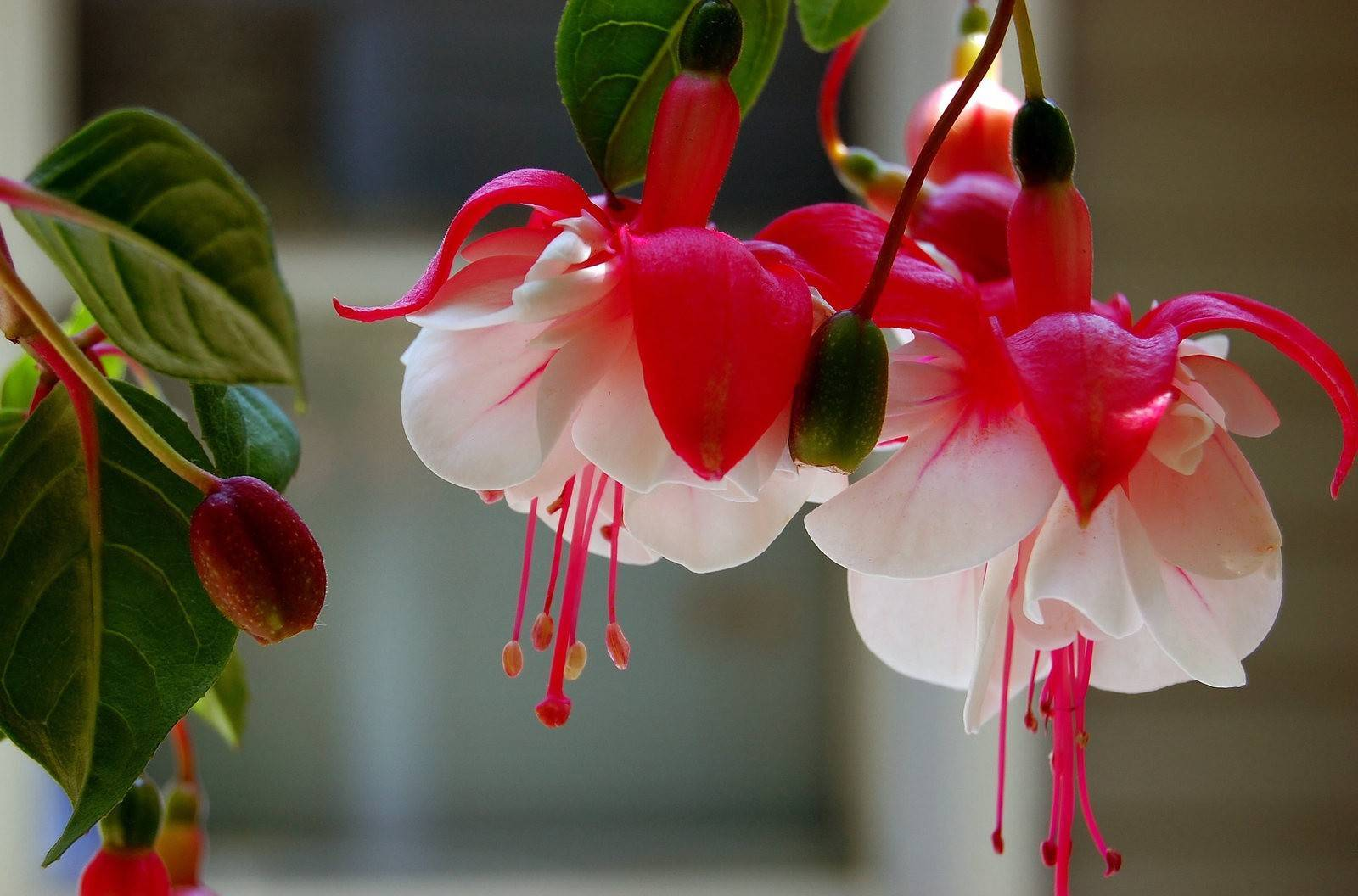 Семена фуксии: как посадить фуксию семенами в домашних условиях