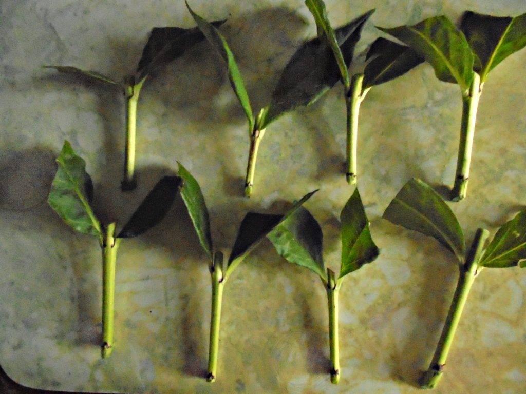 Черенкование флоксов летом: размножение