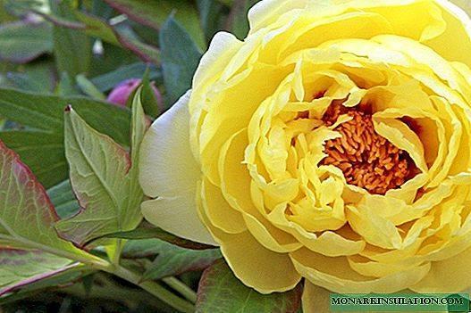 Пион тонколистный (33 фото): описание узколистного растения, вид воронец махровый и тонколистные сорта с названиями, посадка и уход в открытом грунте, выращивание из семян