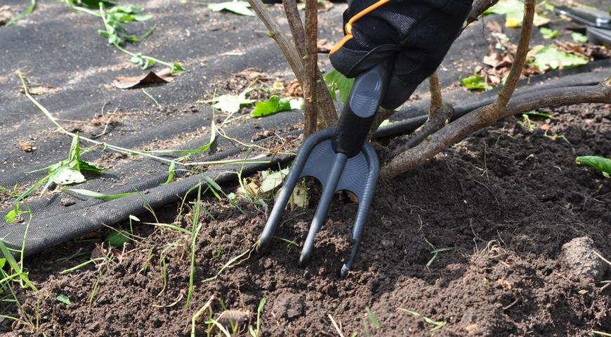 Инжир уход и выращивание в крыму открытом грунте обрезка