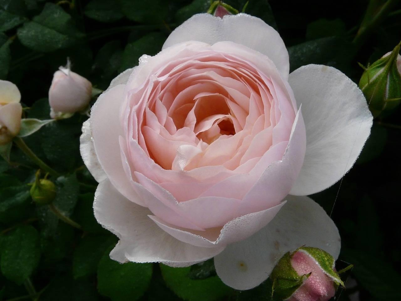 Роза Херитейдж (Heritage) — особенности мускусного сорта