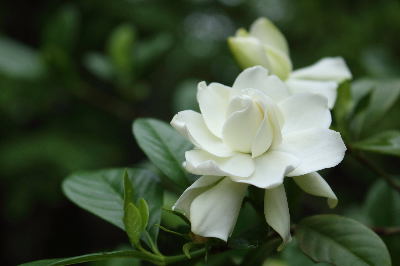 Гардения: описание видов и секреты ухода за растением в домашних условиях
