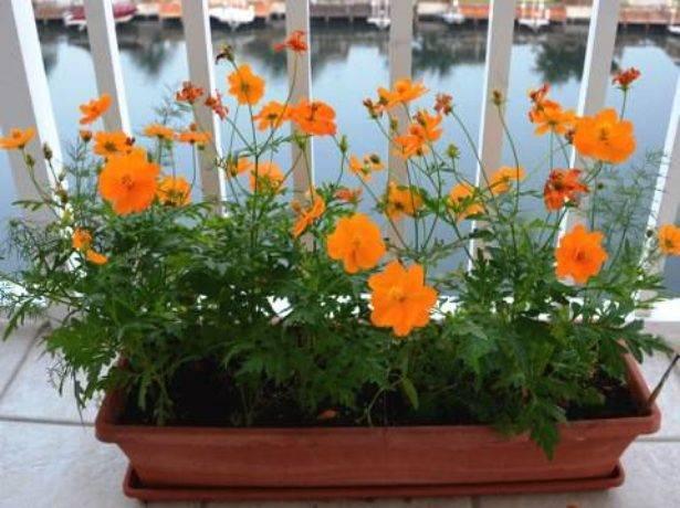 Космея шоколадная (24 фото): описание многолетнего цветка, выращивание из семян, посадка и уход