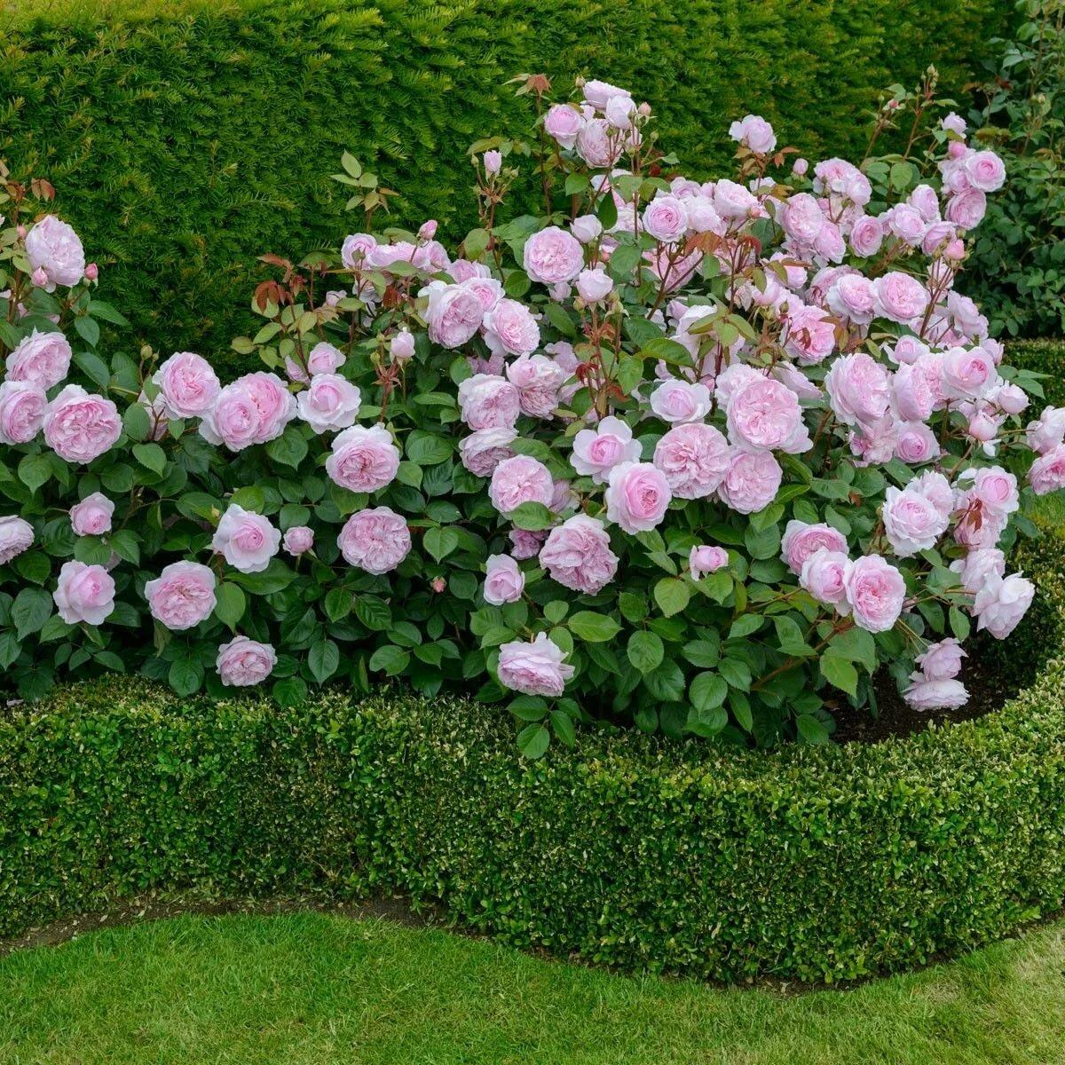Нюансы посадки и уход за сортовой плетистой розой эден роуз: техника выращивания
