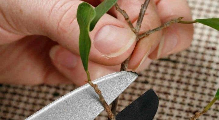 Каучуконосный фикус эластика: размножение, укоренение черенков и обрезка