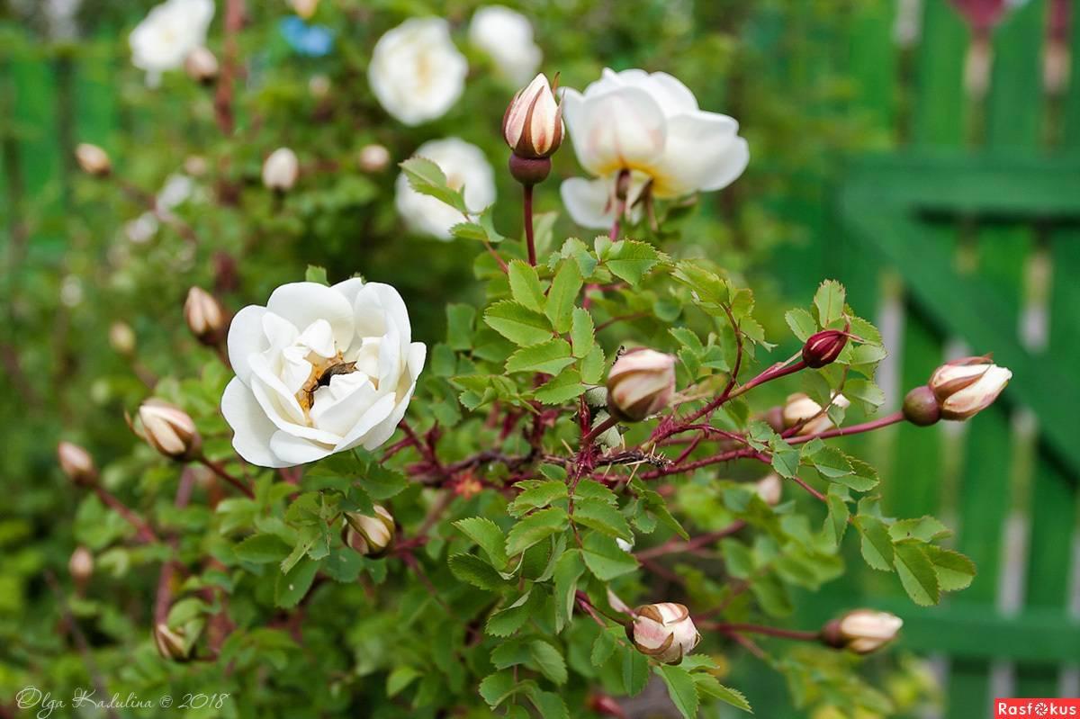 Цветок невеста комнатный — как называется растение?