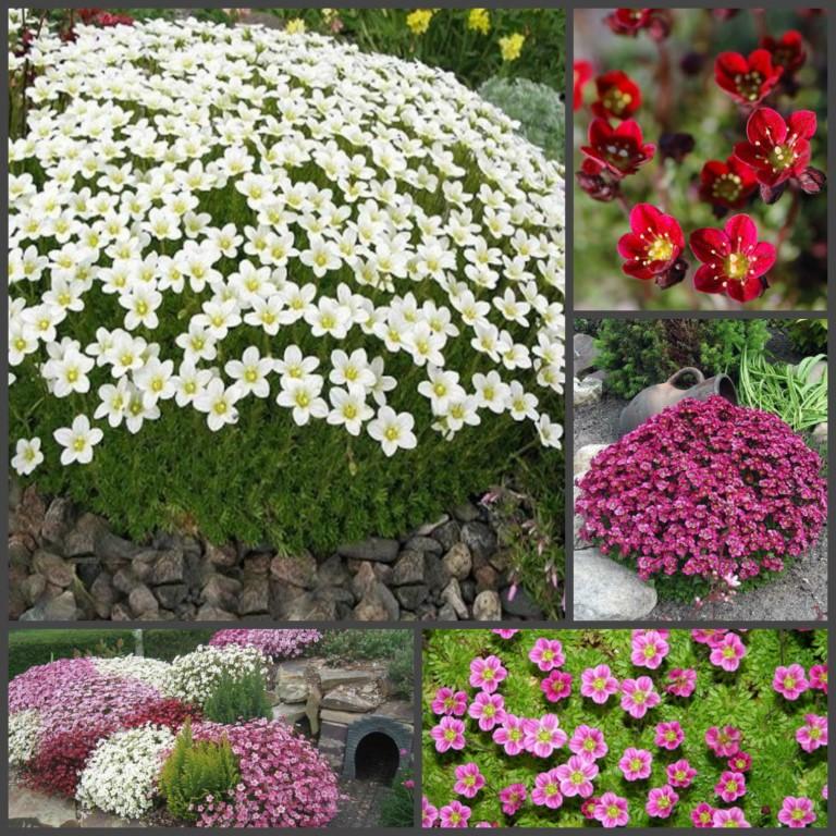 Камнеломка арендса: размножение и уход за цветком