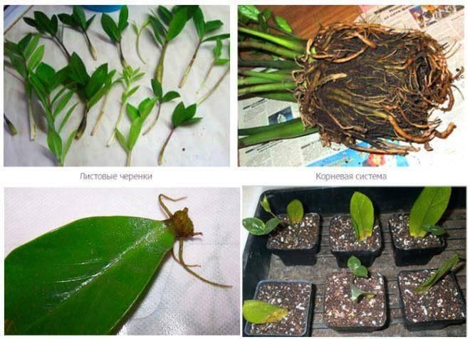 Замиокулькас: непритязательный уход и простое размножение
