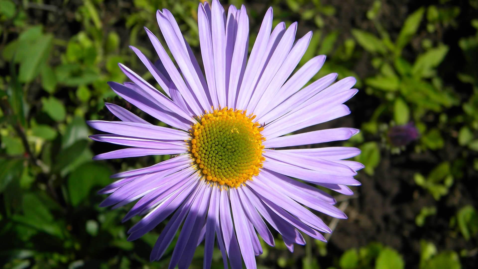 Ромашка (персидская, кавказская, пиретрум): выращивание цветка из семян и уход