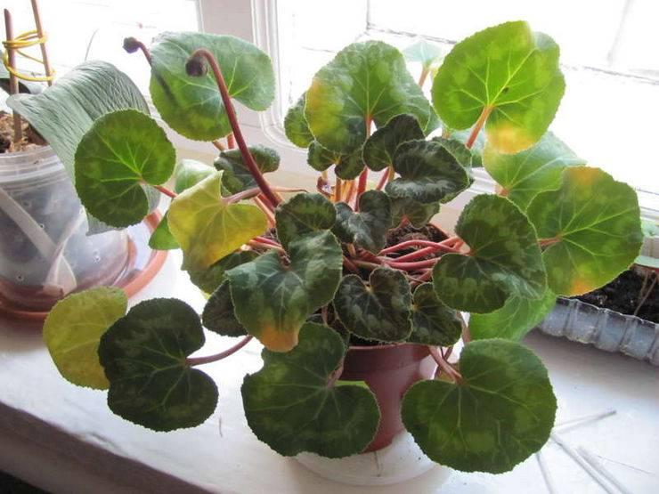 Что делать, если у цикламена желтеют листья? как спасти цветы, если они вянут после покупки и после цветения? особенности ухода за цветком в домашних условиях
