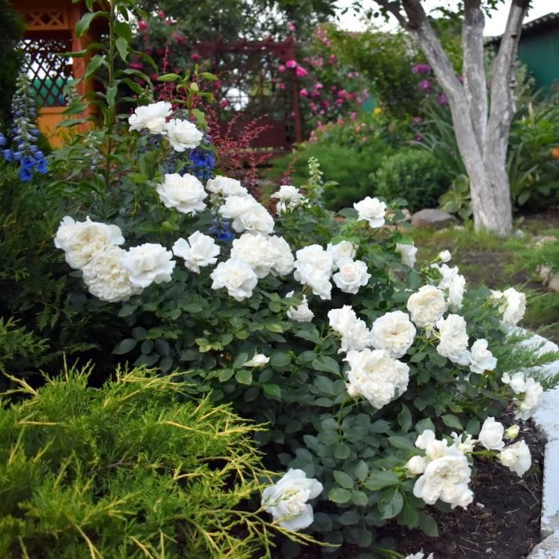 О розе скарлет (scarlet): описание и характеристики сорта почвопокровной розы