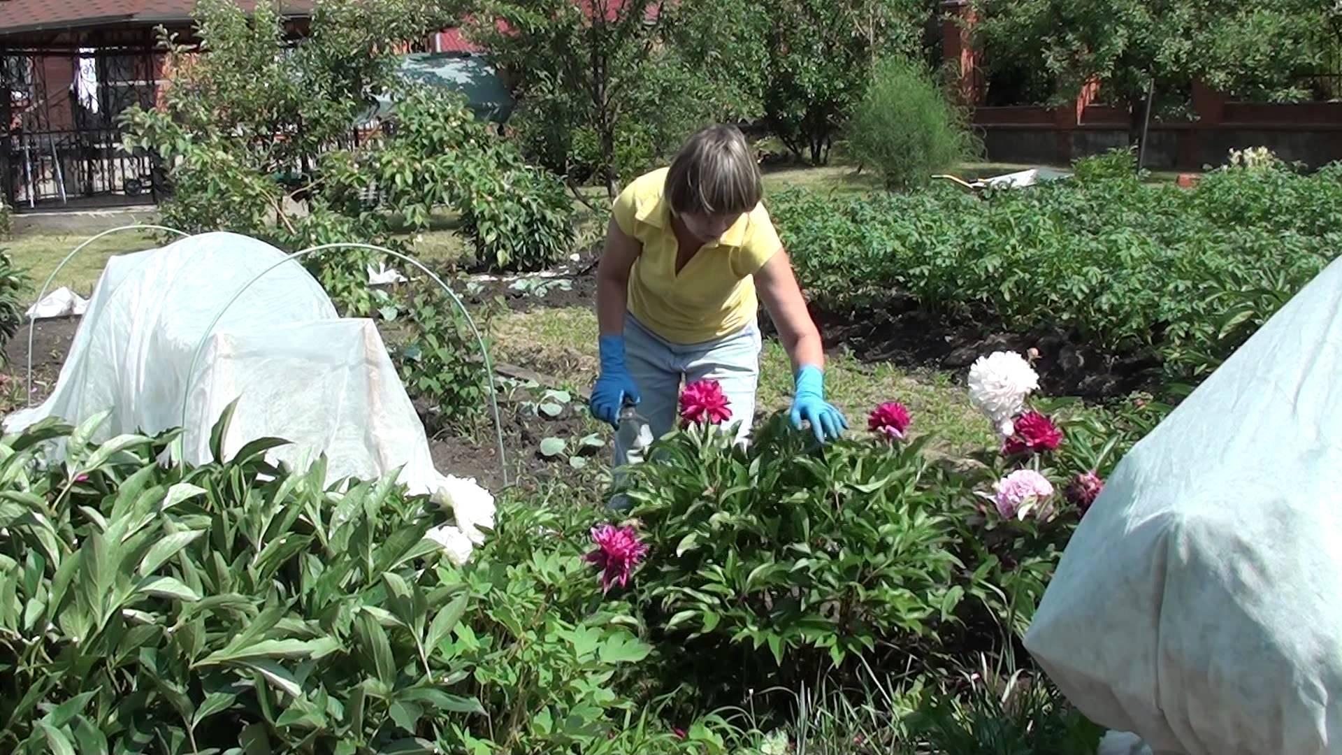 Посадка георгинов клубнями весной - подготовка, проращивание, высаживание