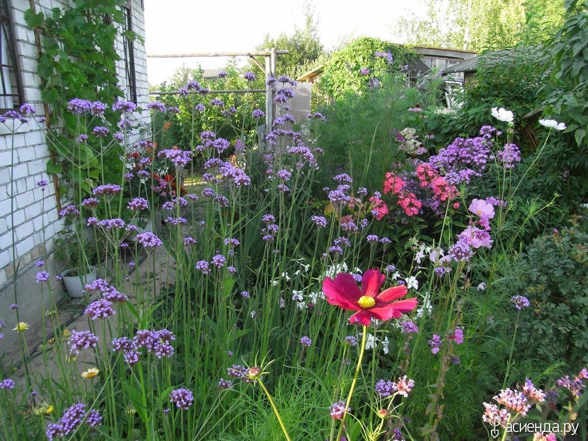 Вербена посадка и уход, фото цветов, когда сажать рассаду, выращивание ампельной, гибридной, бонарской, буэнос-айресской вербены в открытом грунте