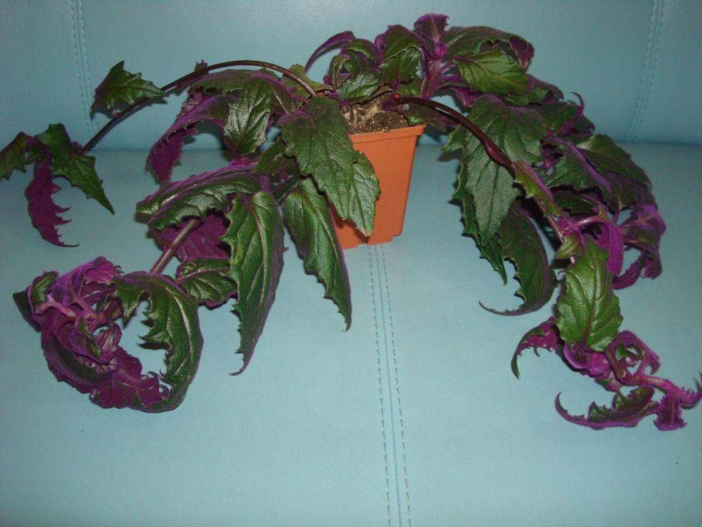 Особенности выращивания изысканного растения — гинуры плетеносной