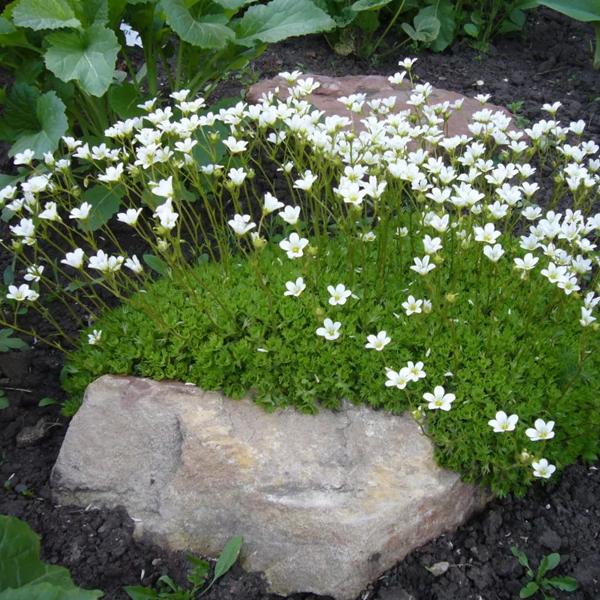 Камнеломка (84 фото): правила посадки и ухода за цветком в открытом грунте, описание камнеломки теневой и снежной, метельчатой и других видов