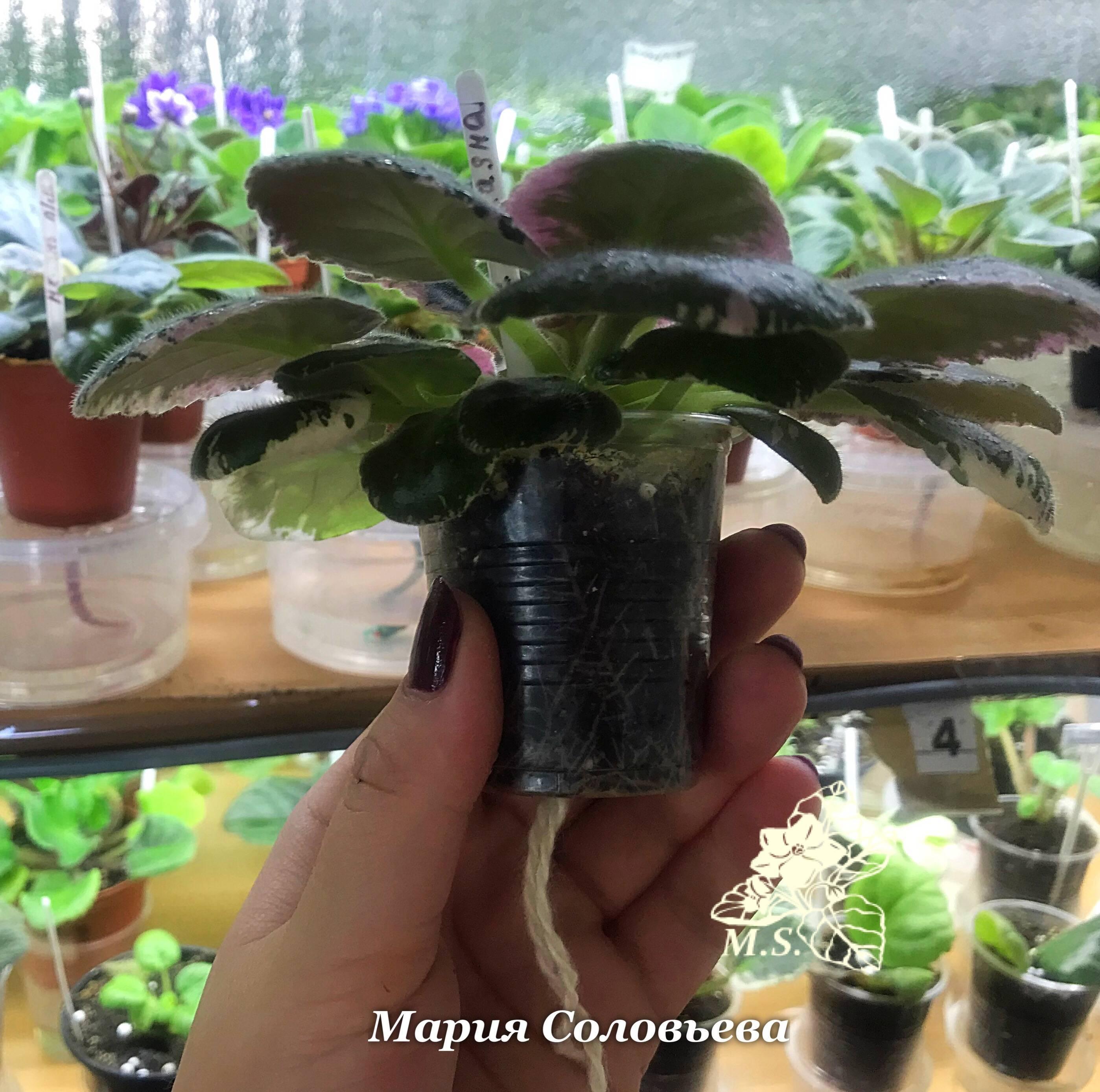 Фитильный полив фиалок – секреты успешного выращивания и пышного цветения