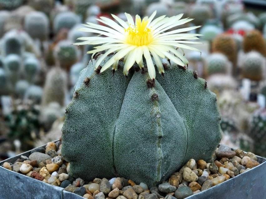 Кактус астрофитум: фото, виды, уход за кактусом астрофитум астериас (astrophytum asterias)