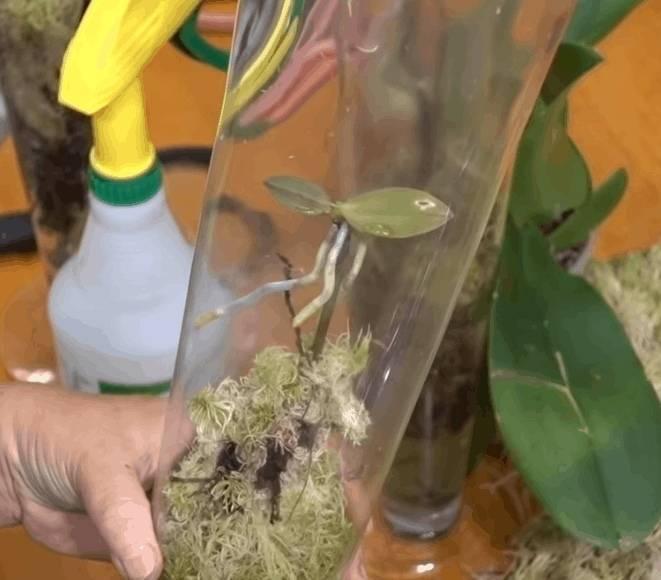 Как размножать орхидею в домашних условиях и на улице: пошаговое описание способов, советы по использованию цитокиновой пасты и других средств, а также фото растения