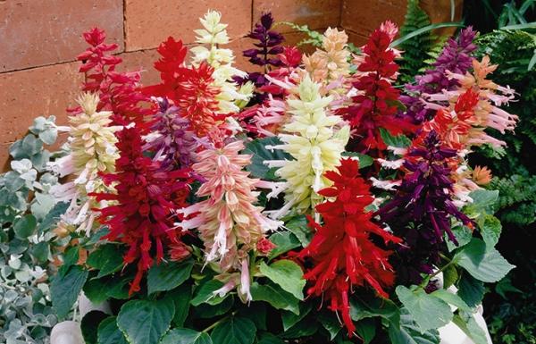 Цветок «сальвия» —  правила посадки и уход