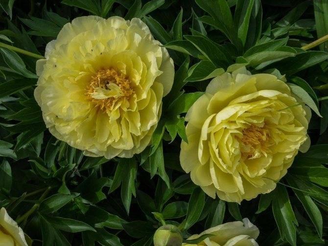 Пион «бартзелла» — яркий и свежий, словно лимон