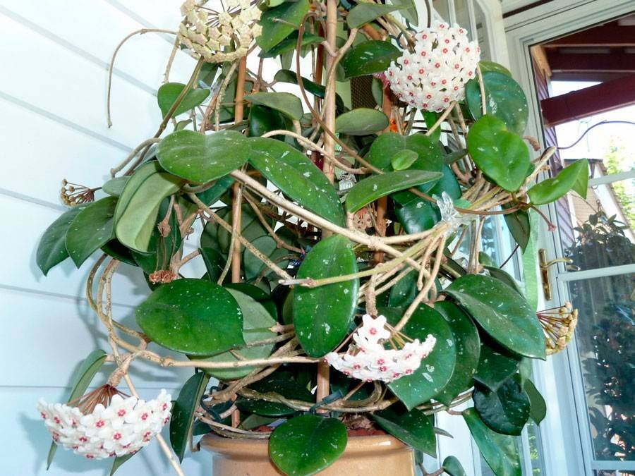 Хойя карноза: цветущая тропическая лиана в комнате