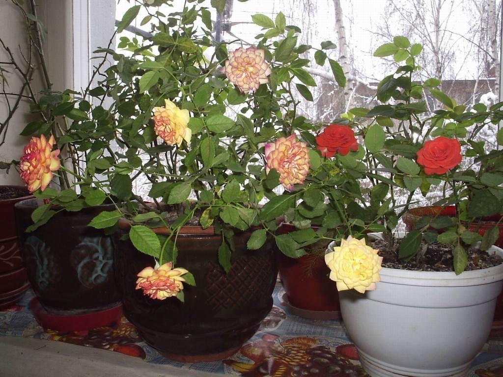 Кустовая роза в горшке — можно ли выращивать дома