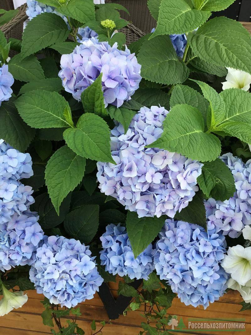 Гортензия бесконечное лето крупнолистная hydrangea macrophylla «endless summer»