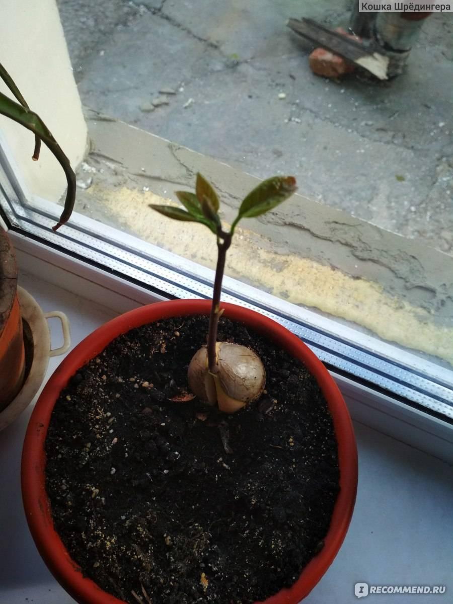 Уход за авокадо в домашних условиях: как посадить и пересадить, нужно ли прищипывать, фото