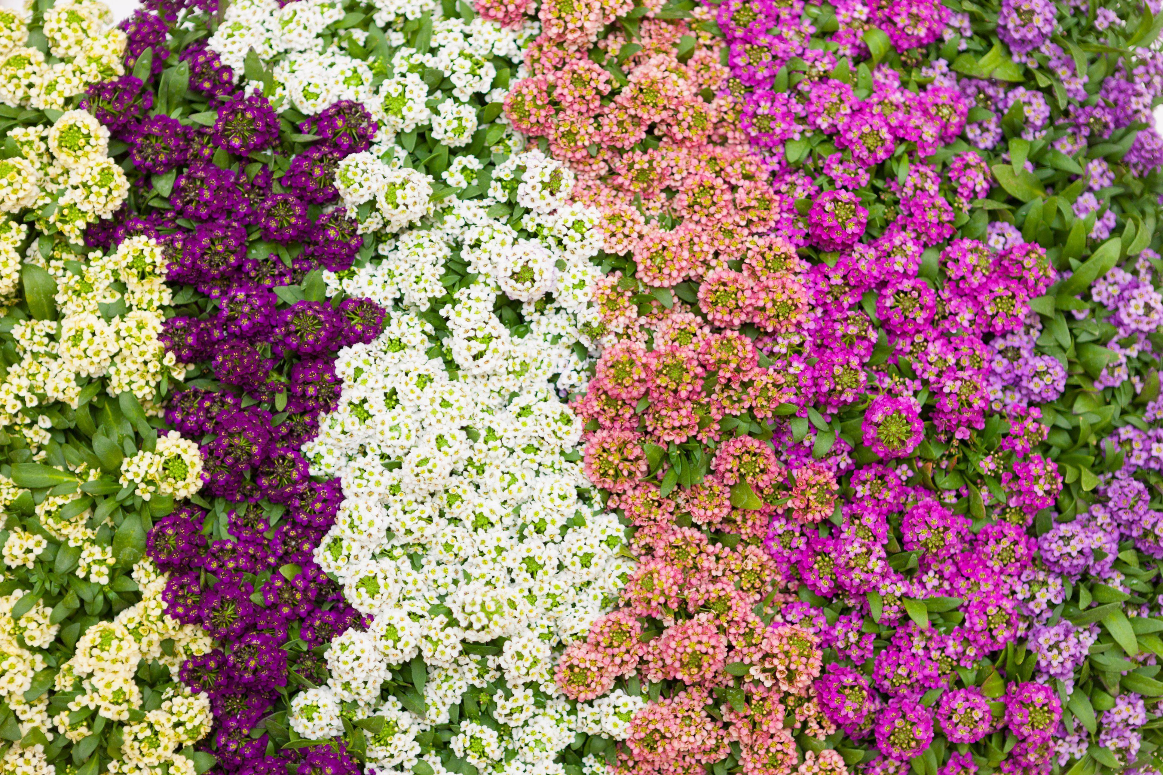 Ароматный алиссум — особенности выращивания из семян и уход
