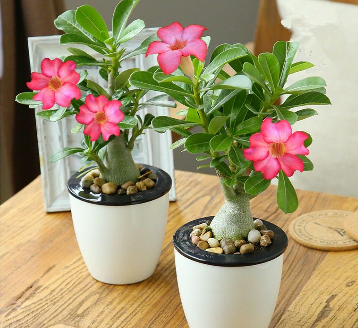 Выращивание адениума из семян: как вырастить адениумы в домашних условиях? посадка семян и последующий уход