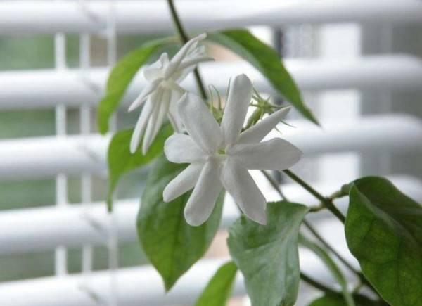 Проведение обрезки у жасмина и формирование кроны растения
