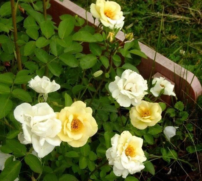 Роза лидия лавли (lydia lovely) — что это за цветок семейства флорибунда