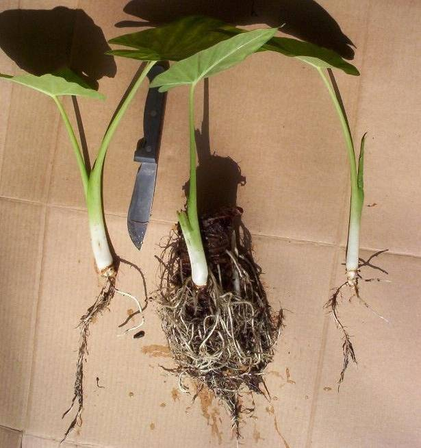 Алоказия: уход в домашних условиях, особенности выращивания