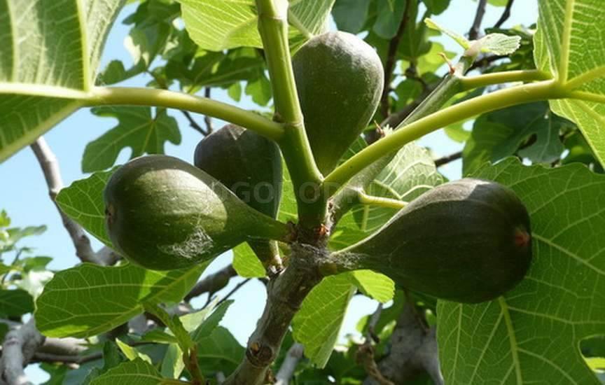 Фиговое дерево или инжир — описание, как выглядит плод