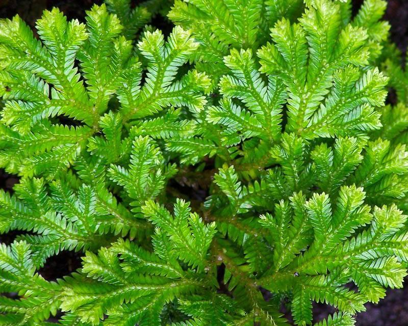 Селагинелла — выращивание в домашних условиях, особенности ухода