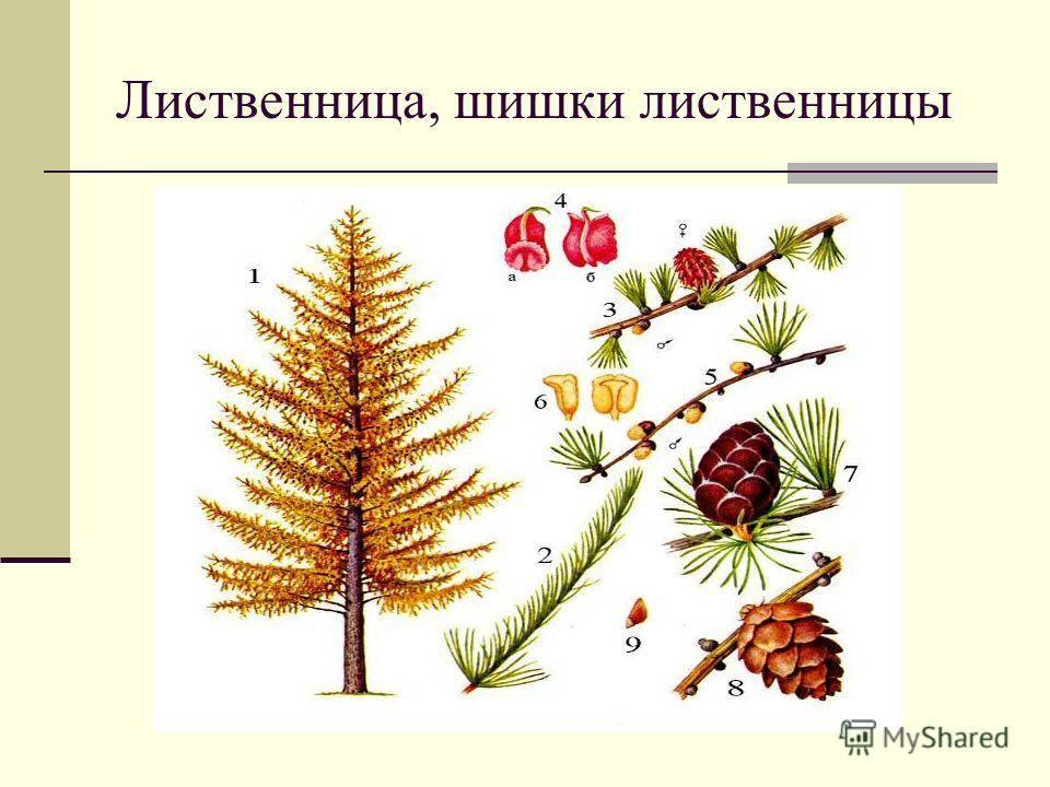 Лиственница европейская (43 фото): описание формы пендула, особенности сортов «пули» и «репенс», посадка дерева larix decidua и уход за ним, использование в ландшафтном дизайне