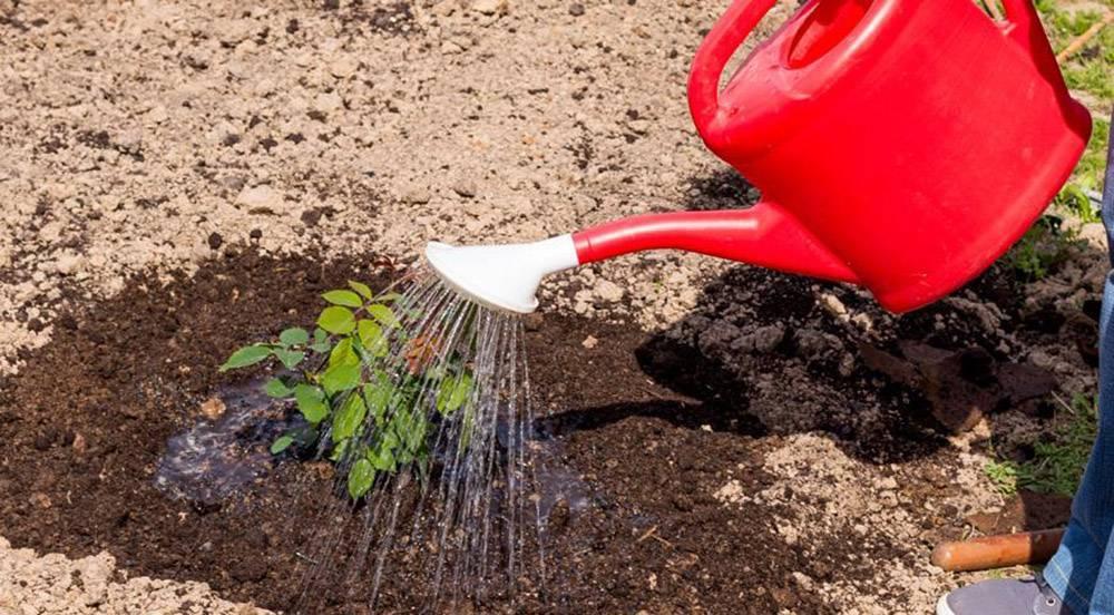 Барбарис: выращивание, разведение, уход, разновидности