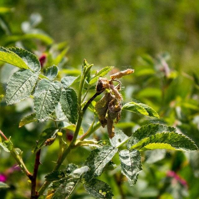 Мучнистая роса: как вылечить розы от болезни
