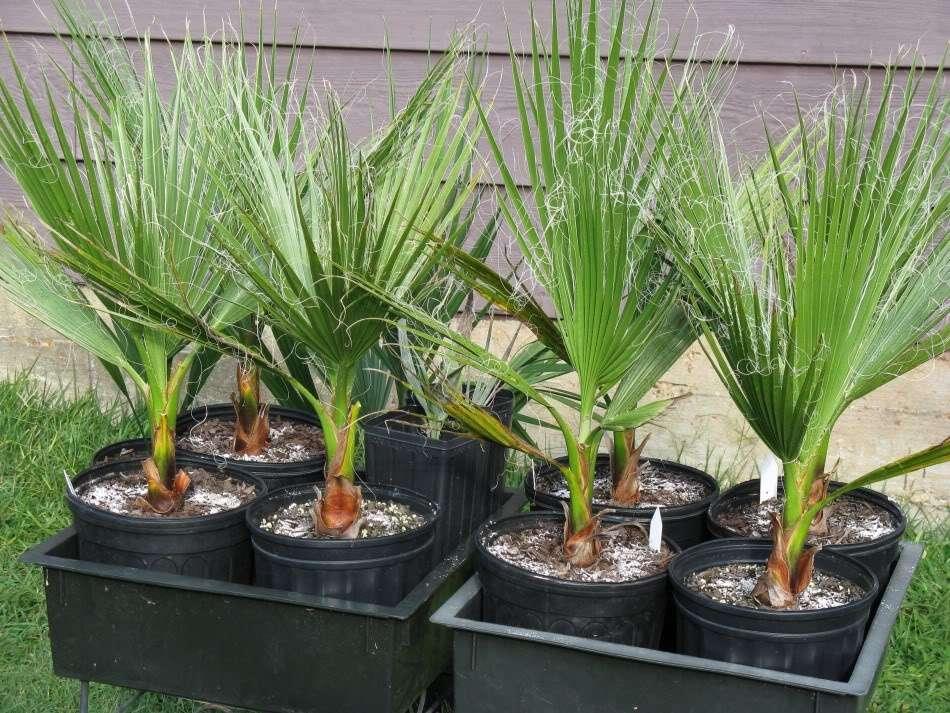 Пальма вашингтония: описание, виды, особенности ухода