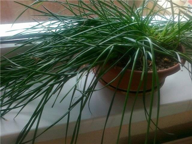 Зефирантес (zephyrantes). период покоя и цветения, правила ухода, размножения.