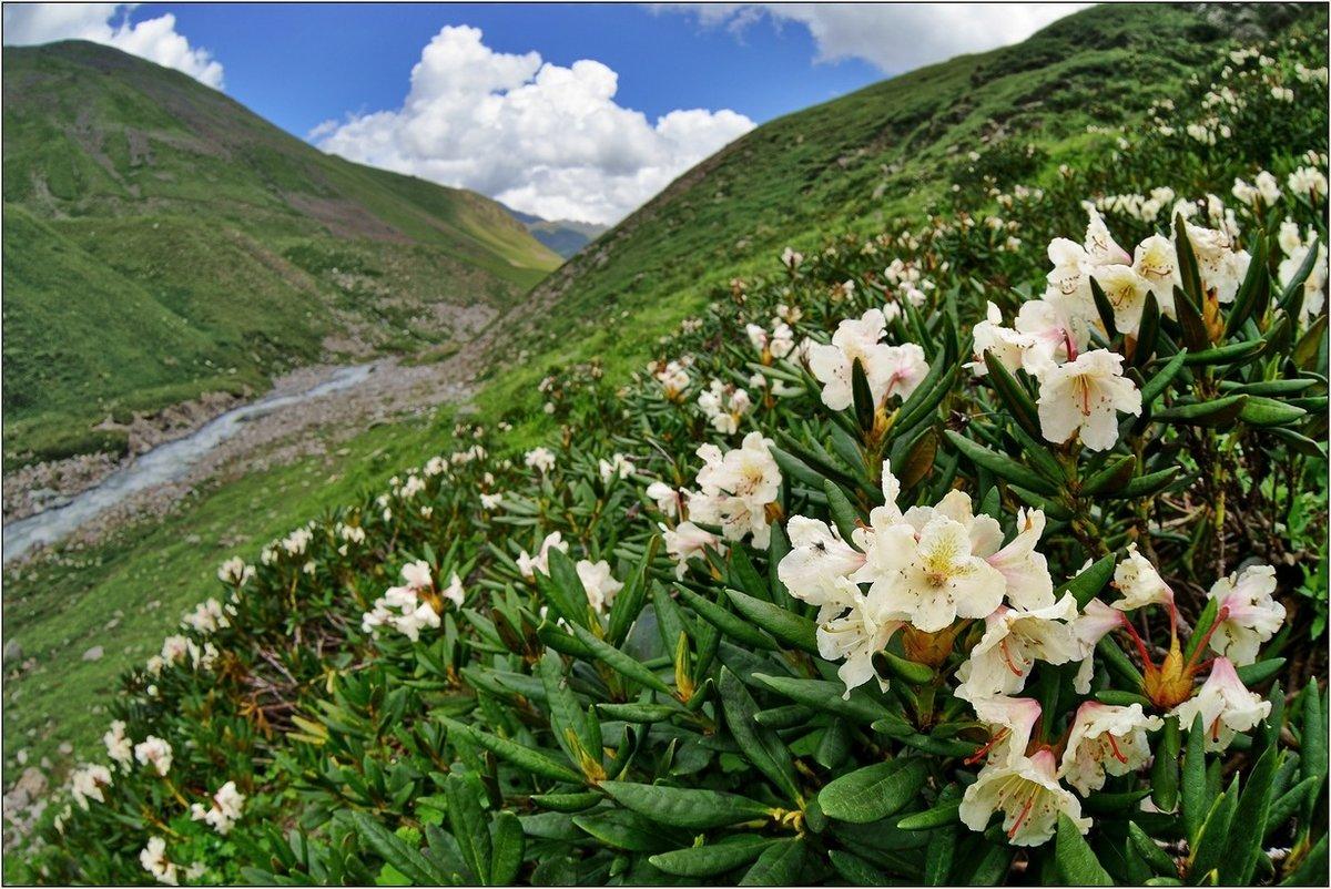 Рододендрон кавказский (19 фото): особенности горного рододендрона. когда он цветет? правила посадки и ухода