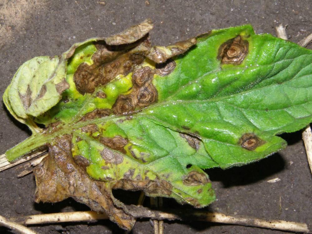 Болезни и вредители лилий – как распознать и победить?