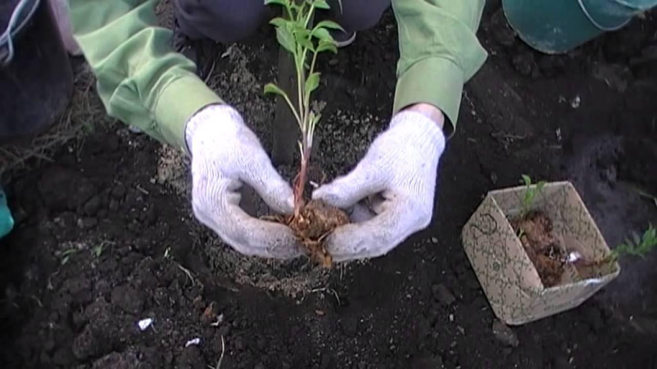 Агротехника выращивания георгинов в саду, на даче: как высаживать, поливать, цветение