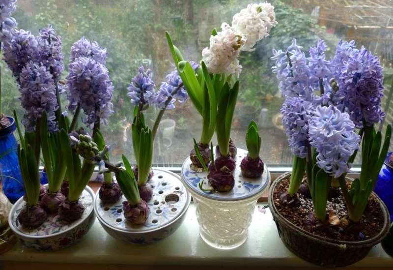 Уход за гиацинтами после цветения: пересадка, полив, хранение луковиц