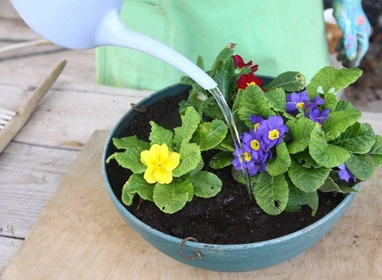 Когда рассаживать примулу садовую, в том числе для выращивания к 8 марта, как размножить цветок листом, делением куста и как осуществлять уход за растением?