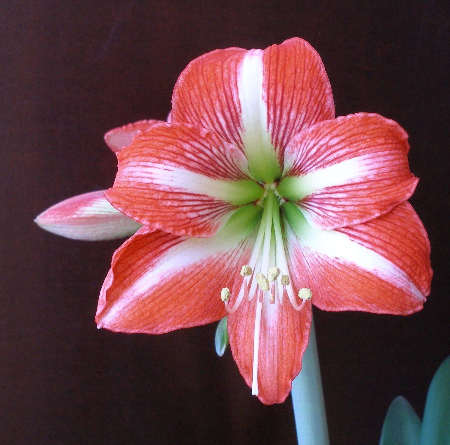 Цветок амариллис: фото, виды и описание