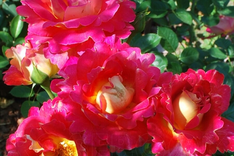 Парковые розы: сорта и правила ухода